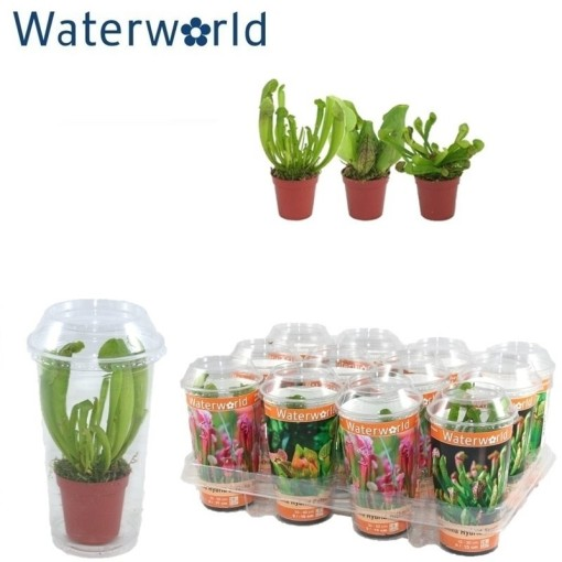 Carnivorous plants MIX (van der Velde Waterplanten BV)