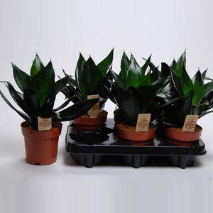 Sansevieria trifasciata 'Black Dragon' (Van der Arend Tropical Plantcenter)
