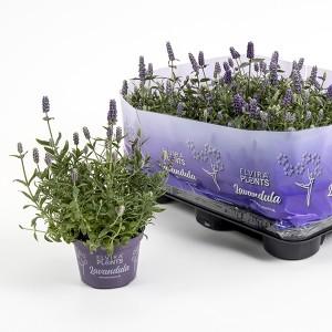 Lavandula angustifolia 'Hidcote Blue Strain'