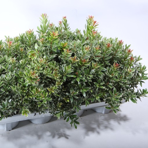 Pieris japonica 'Little Heath' (Experts in Green)