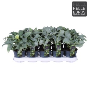 Helleborus argutifolius 'Silver Lace' (Hoogeveen Plants)