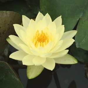 Nymphaea 'Joey Tomocik' (Moerings Waterplanten)