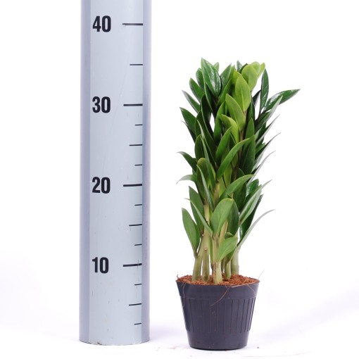 Zamioculcas zamiifolia (Van der Arend Tropical Plantcenter)
