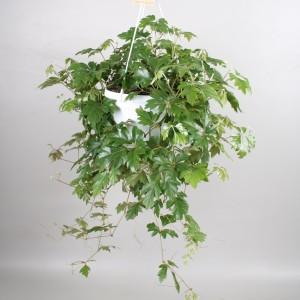 Cissus rhombifolia 'Ellen Danica'