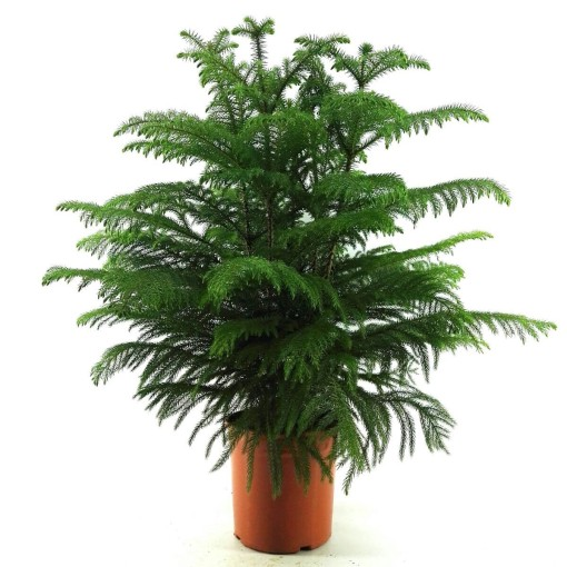 Araucaria heterophylla (Green Collect Sales)