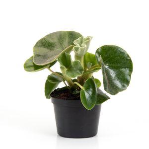 Begonia venosa