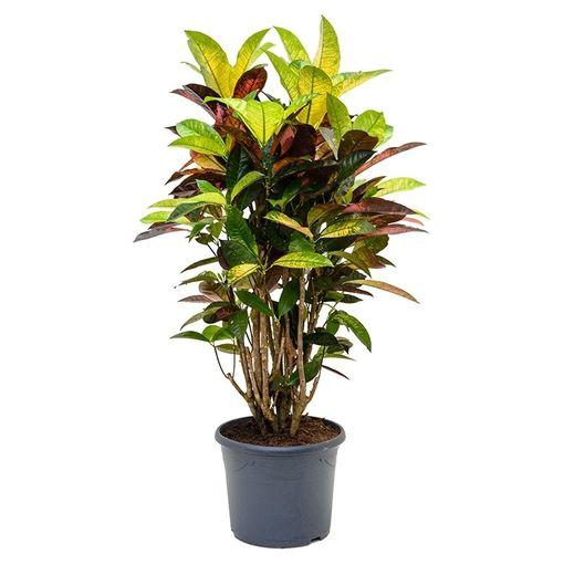 Codiaeum variegatum 'Mrs Iceton' (Nieuwkoop Europe B.V.)