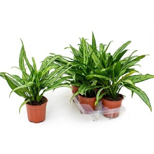 Aglaonema 'Cutlass'