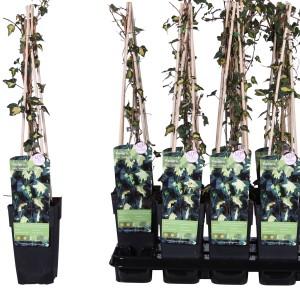 Hedera helix 'Goldheart' (Hoogeveen Plants)