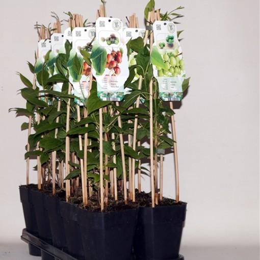 Actinidia MIX (BOGREEN Outdoor Plants)