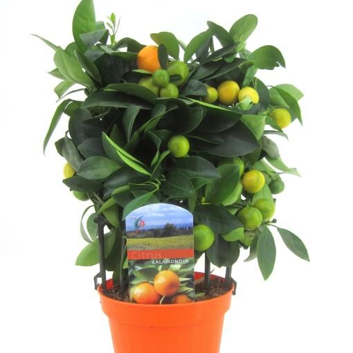 Citrus x microcarpa (Luiten kwekerij)