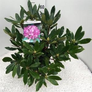 Rhododendron ponticum 'Roseum' (Floribras Garden Plants)
