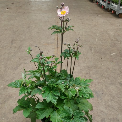 Anemone hupehensis japonica (Experts in Green)
