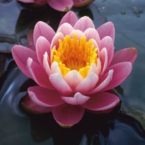 Nymphaea 'Fabiola' (Moerings Waterplanten)