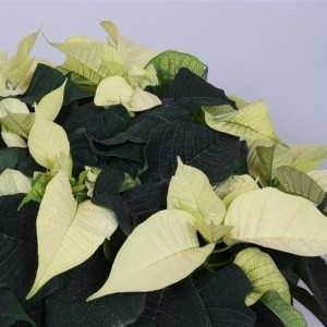 Euphorbia pulcherrima CHRISTMAS FEELINGS WHITE (Peeters Potplanten)