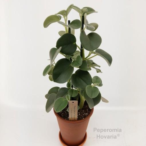 Peperomia 'Hovaria' (Hofstede Hovaria)