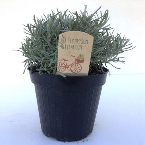 Helichrysum italicum (Green Collect Sales)