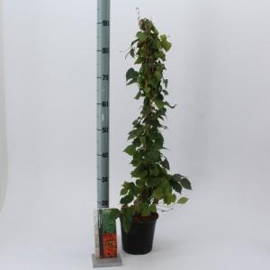 Parthenocissus tricuspidata 'Veitchii'