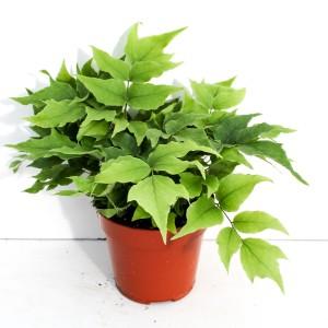 Cyrtomium fortunei clivicolum