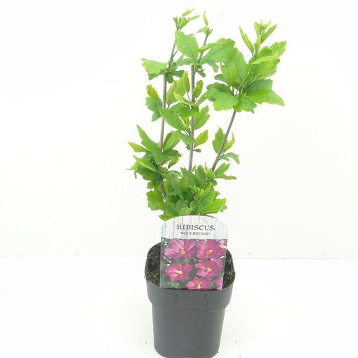 Hibiscus syriacus 'Woodbridge' (Hooftman boomkwekerij)