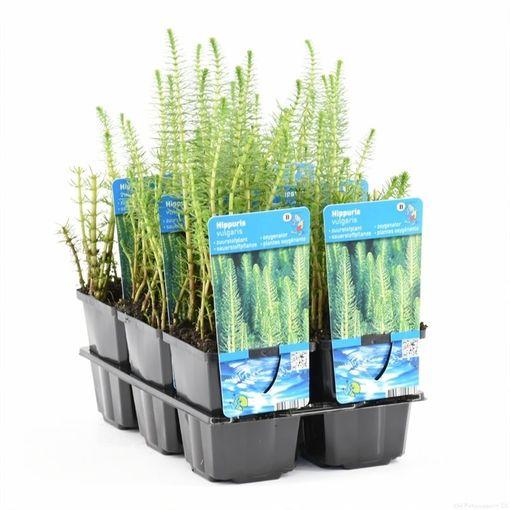 Hippuris vulgaris (Moerings Waterplanten)