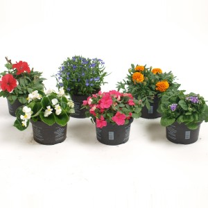 Bedding plants MIX