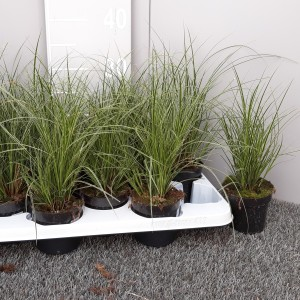 Carex brunnea MIX (Experts in Green)