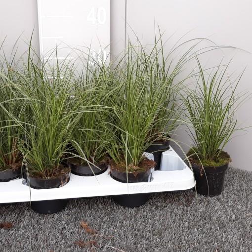 Carex brunnea MIX (Experts in Green)