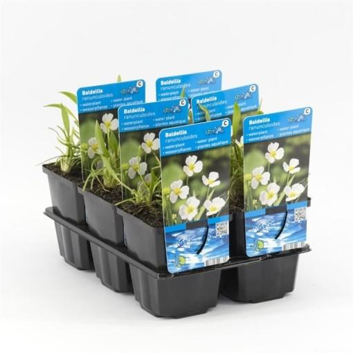 Baldellia ranunculoides (Moerings Waterplanten)