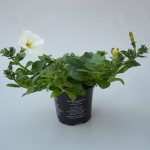 Petunia SURFINIA WHITE (Sonneveld Plants)