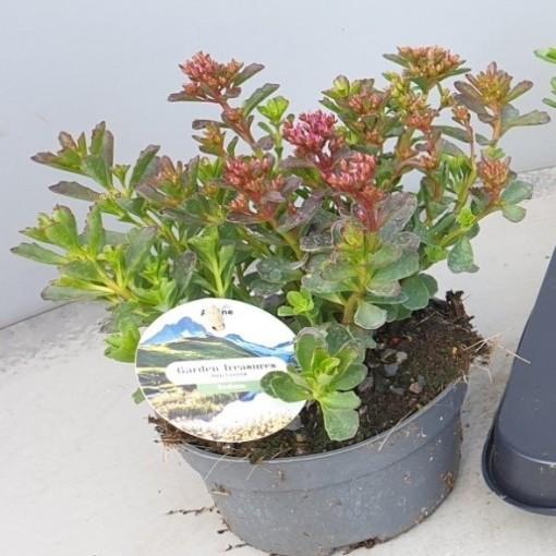 Sedum spurium SPOT ON DEEP ROSE (Leeuw-den Engelsen)