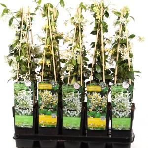 Trachelospermum MIX (Hoogeveen Plants)