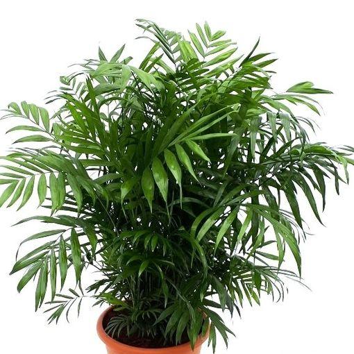 Chamaedorea elegans (RM Plants)