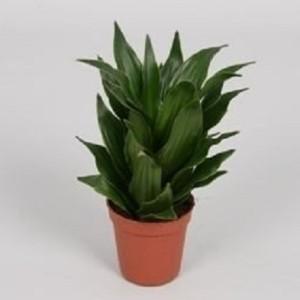 Dracaena fragrans PEQUENA (Handelskwekerij van der Velden)