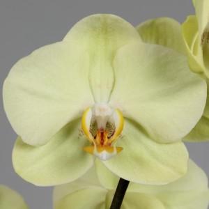 Phalaenopsis BRIGHT YARA (Leerdam Orchideeën)