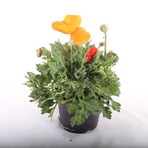 Papaver nudicaule MIX (Experts in Green)
