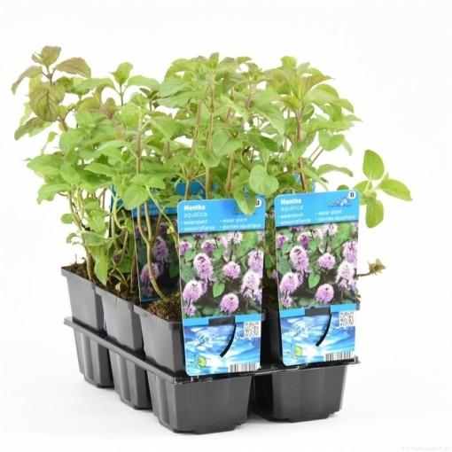Mentha aquatica (Moerings Waterplanten)