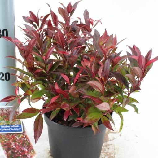 Leucothoe RED LIPS (About Plants Zundert BV)
