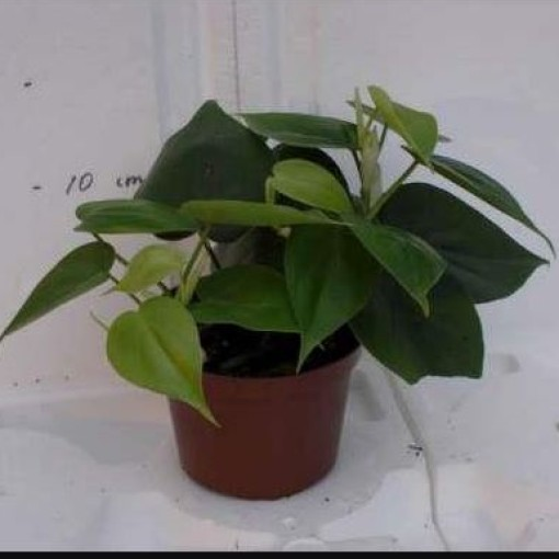 Philodendron scandens (Gasa DK)