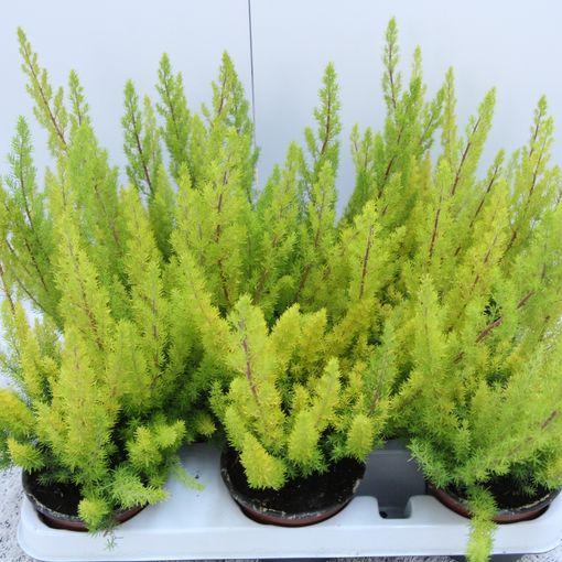 Erica arborea 'Albert's Gold' (Experts in Green)