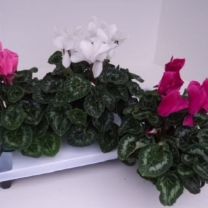 Cyclamen SUPERSERIE XL MIX