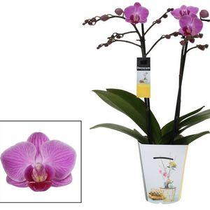 Phalaenopsis ANTHURA VIENNA