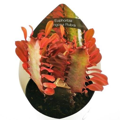 Euphorbia trigona 'Rubra' (Giromagi)