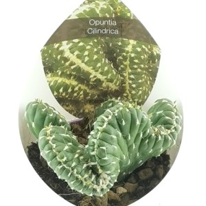 Opuntia cylindrica cristata