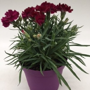 Dianthus FLOW BLINKY BEACH