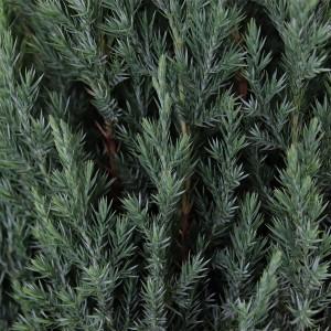 Juniperus chinensis 'Stricta' (Bremmer Boomkwekerijen)