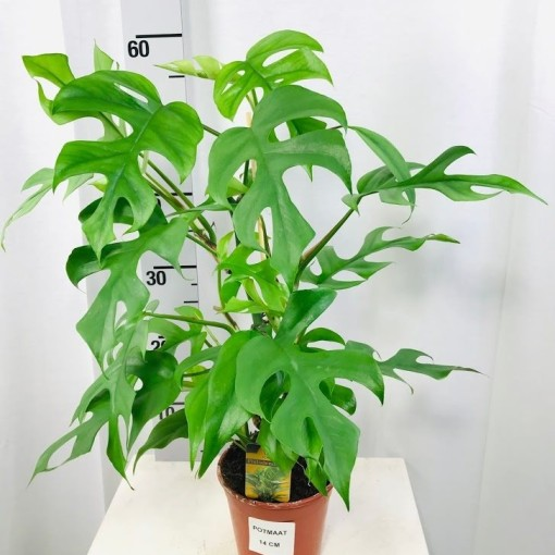 Philodendron 'Minima' (Ichtus Flowers)