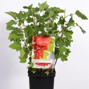 Ribes rubrum 'Jonkheer van Tets' (Fruithof)