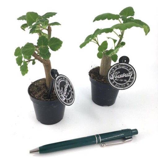 Plectranthus ernstii (Gasa DK)