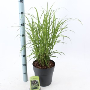 Miscanthus sinensis 'Dronning Ingrid' (About Plants Zundert BV)